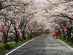 久世桜トンネル