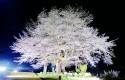 尾所の夜桜